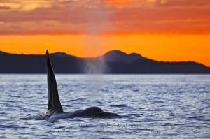Orca at sunset (Photo credit - www.hickerphoto.com)